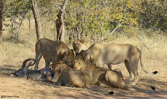 Five lions eating an antelope in the wild