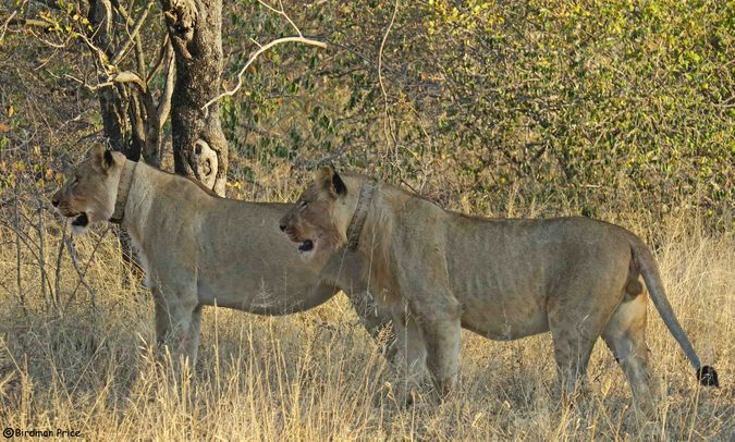 Two collared lions in game reserve in South Africa