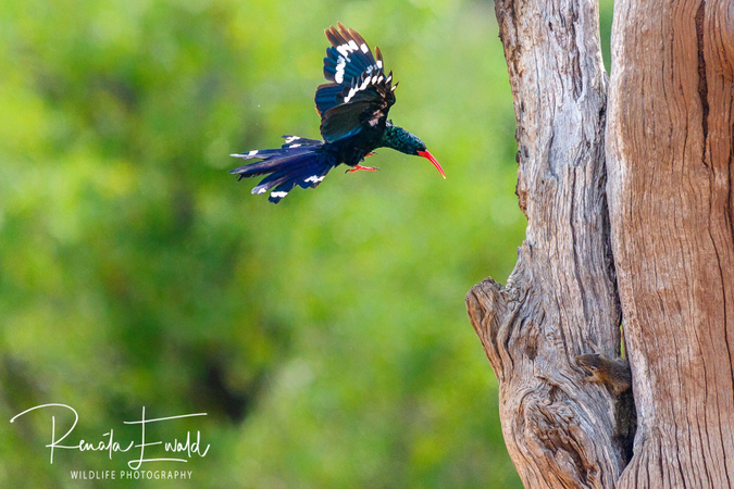 Tree squirrel and green wood-hoopoe, Kruger National Park, South Africa