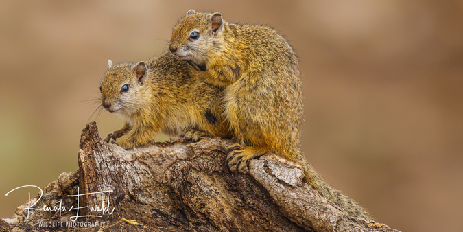 Two tree squirrels