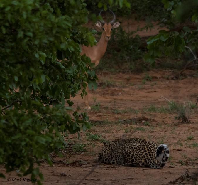 Leopard stalking antelope