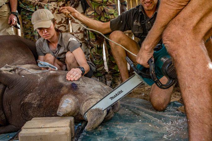 Dehorning black rhino for conservation, African Parks, Zakouma National Park