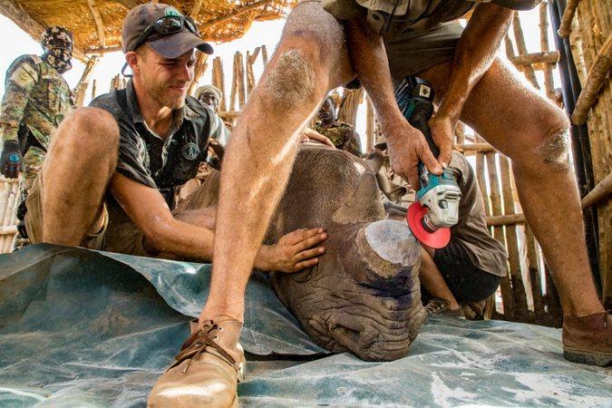Dehorning a black rhino, African Parks, Zakouma National Park