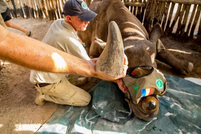 Black rhino horn after dehorning, African Parks, Zakouma National Park