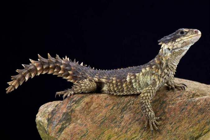 sungazer lizard, Africa's cryptotrafficking