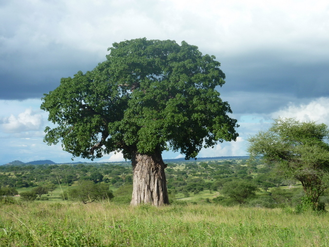 A baobab tree in Tarangire National Park, Tanzania © Christian Boix