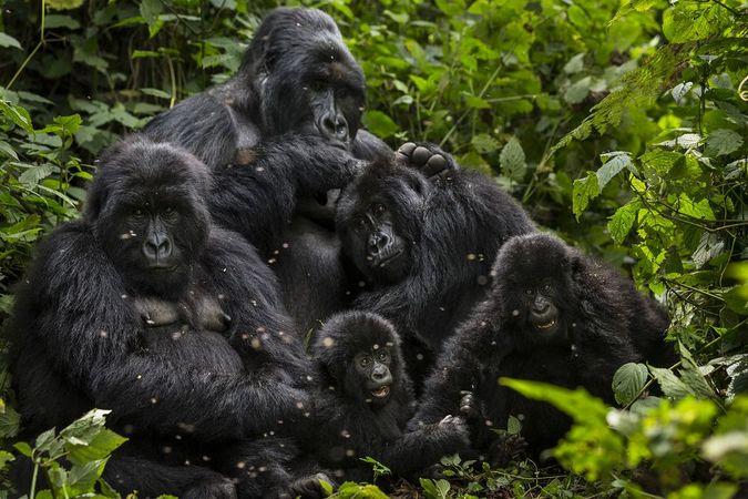Mountain gorilla family in Virunga National Park