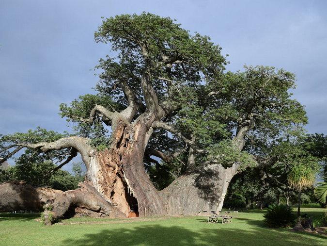 Platland baobab