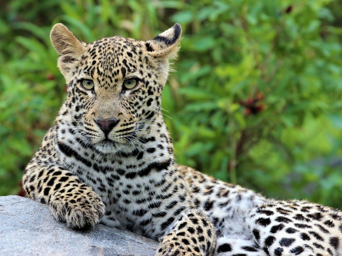 Young leopard lying on rock