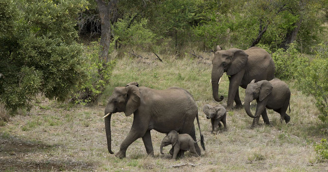 Elephant herd, Tanda Tula, Greater Kruger National Park, South Africa