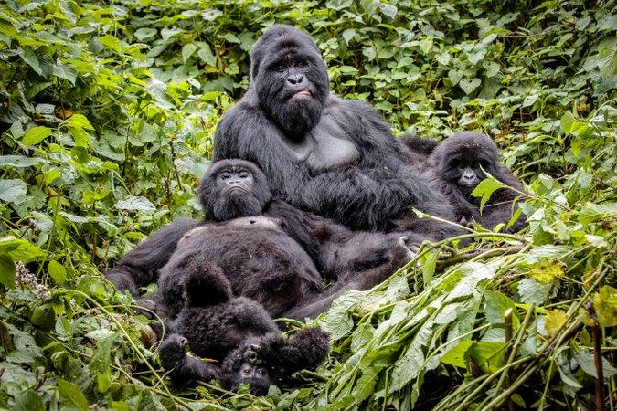 Mountain gorilla family in Virunga National Park, DRC