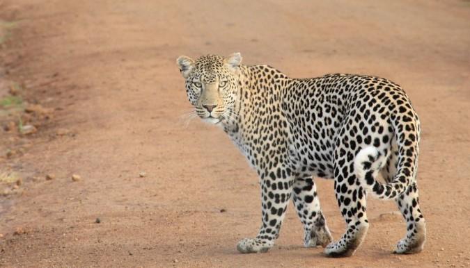 leopard on dirt road