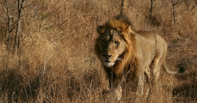 African male lion, wildlife