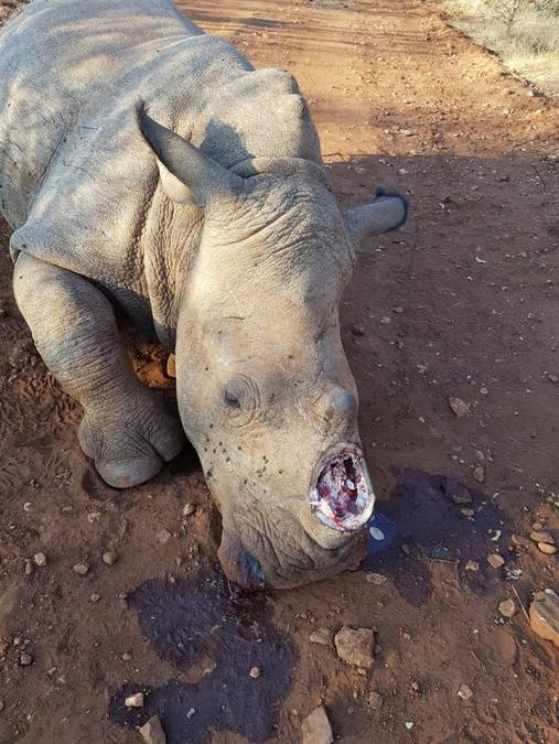 Dehorned rhino after being killed by poachers, African wildlife poaching