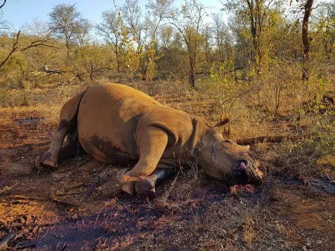Dead rhino after being killed by poachers, African wildlife poaching