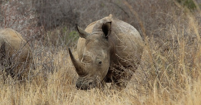 stock photo of white rhino in the wild
