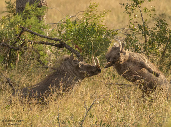 Two warthog boars fighting in Kruger National Park, South Africa