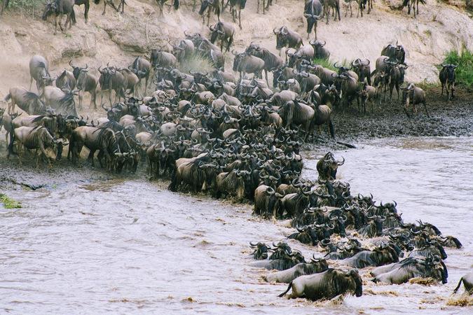 Wildebeest crossing a river, Great Wildebeest Migration