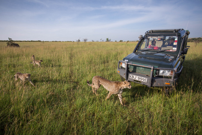 Cheetah and cubs walking past safari vehicle in Kenya