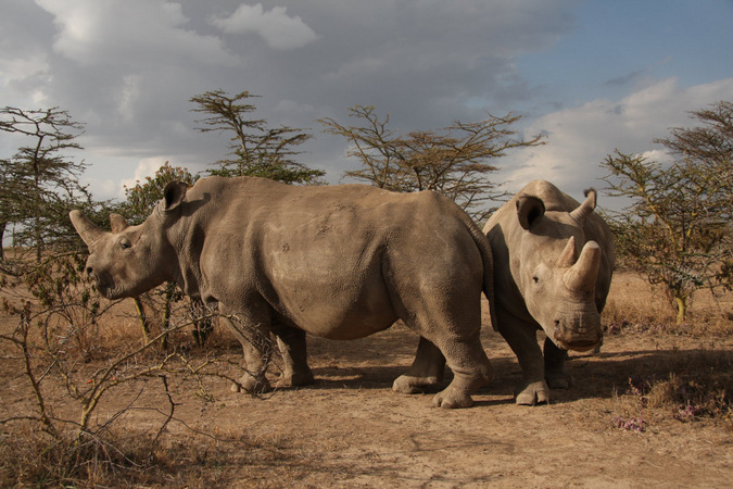 Two northern white rhinos