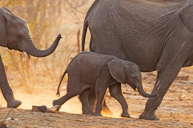 Young elephant in herd in Africa, study about elephants and migration