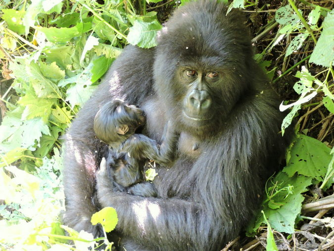 Mountain gorilla with newborn baby in Virunga National Park, DR Congo