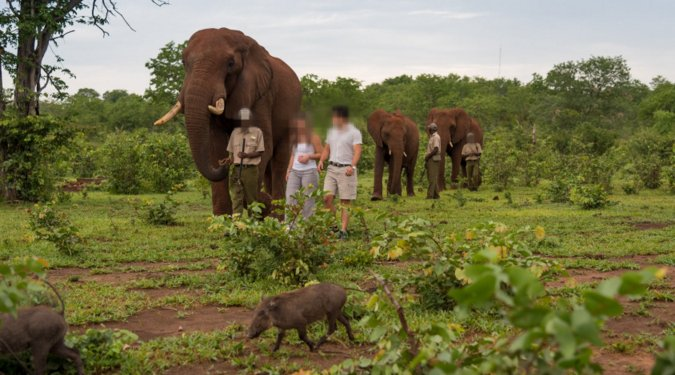 People walking with elephants in Zimbabwe