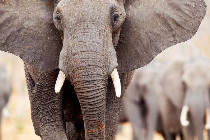 African elephant up close, study about elephants and migration