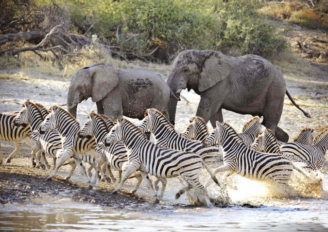 Zebras cross the Boteti River with elephants in the background in Botswana