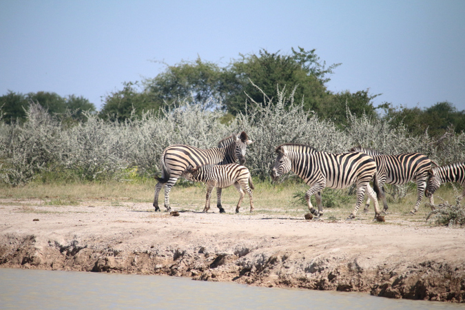Zebra by the Boteti River in Botswana