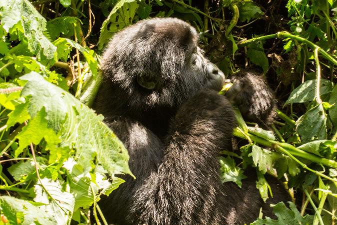 Young mountain gorilla in Uganda