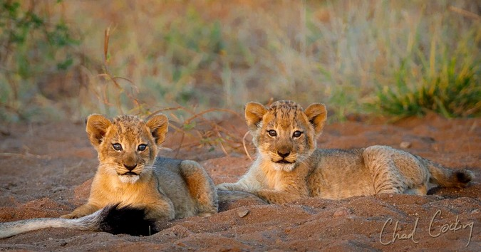 Two lion cubs, Tanda Tula, South Africa