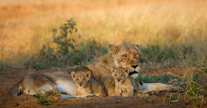 Two lion cubs with lioness, wildlife, Tanda Tula, South Africa