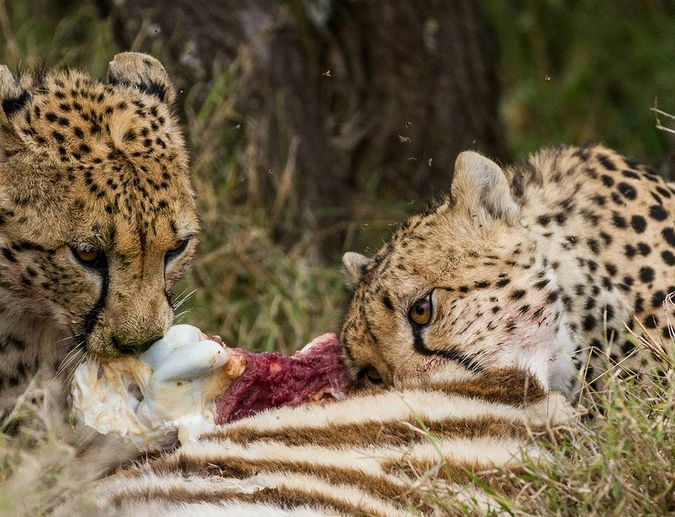 Two cheetahs eating zebra carcass in Mugie Conservancy, Kenya
