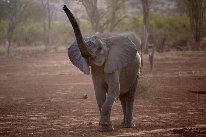 Young elephant calf in Venetia Limpopo Nature Reserve, South Africa