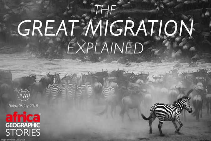 Zebra and wildebeest migration magazine cover