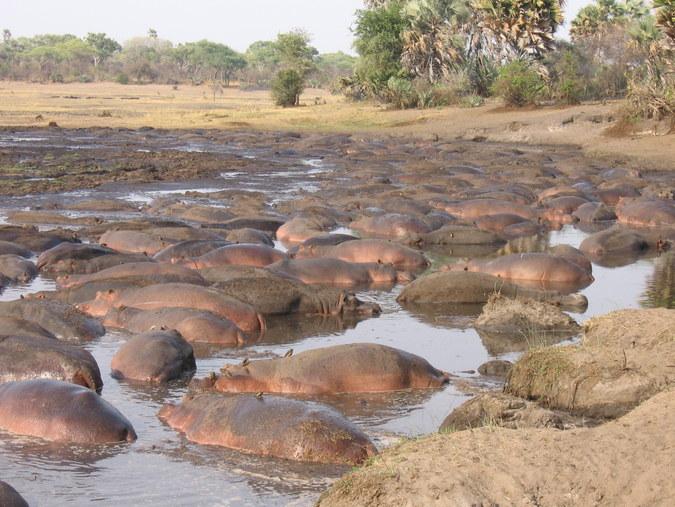 Hippos in river, Tanzania