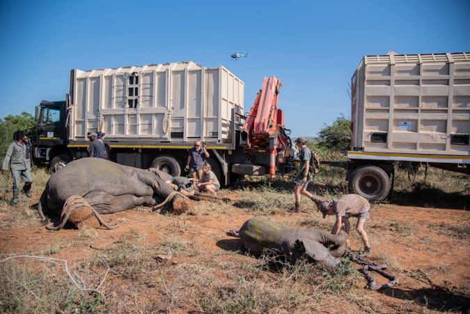 Elephant relocation in South Africa