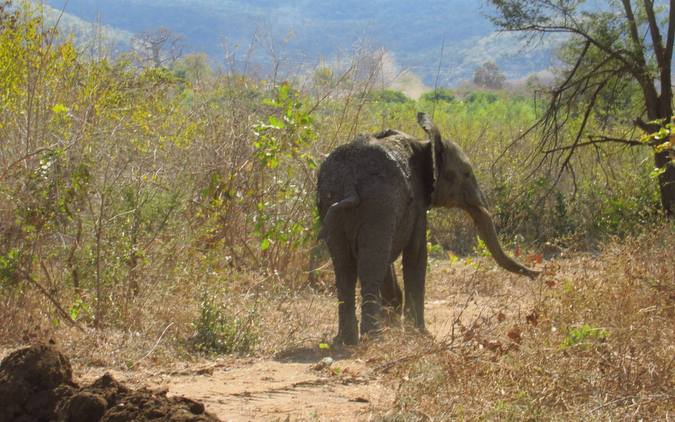Young elephant calf walking away into bush in Zimbabwe