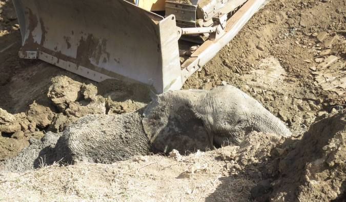 Elephant calf stuck in mud with bulldozer