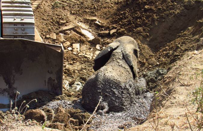 Elephant stuck in a mud pit with bulldozer, Lake Kariba, Zimbabwe