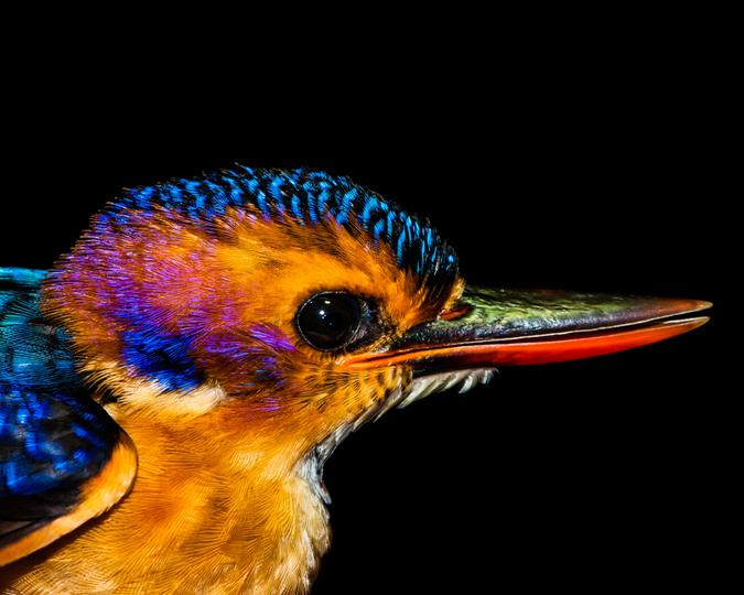 malachite kingfisher up close, macro photography
