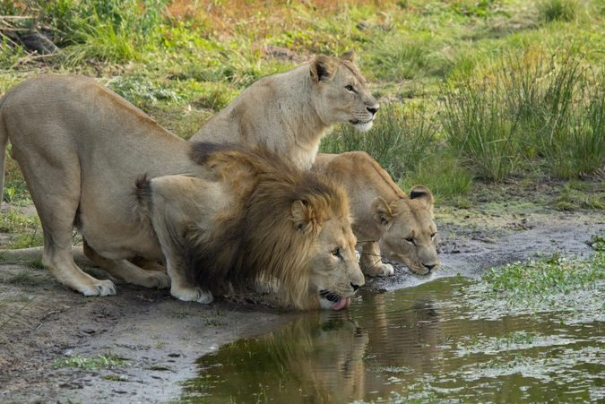 Lion and two lionesses drinking at waterhole