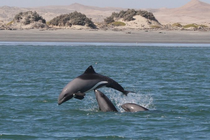 Three Heaviside's dolphins socialising