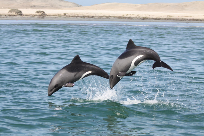 Two Heaviside's dolphins leaping