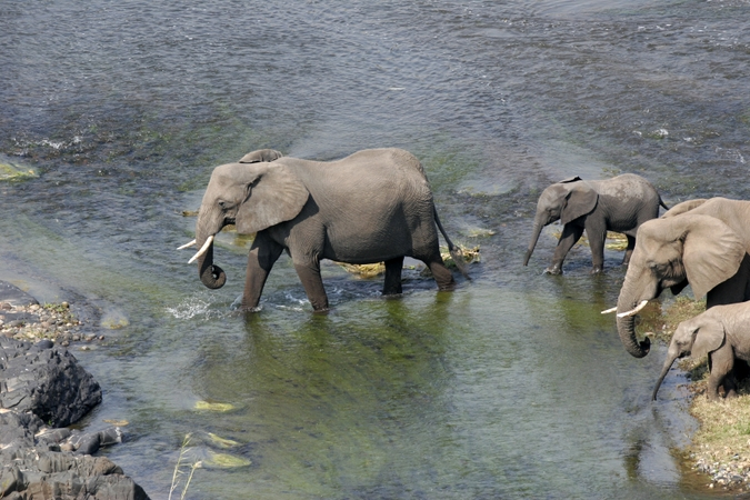 Elephants crossing river in Venetia Limpopo Nature Reserve, South Africa