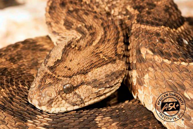 Puff adder, snake, reptile