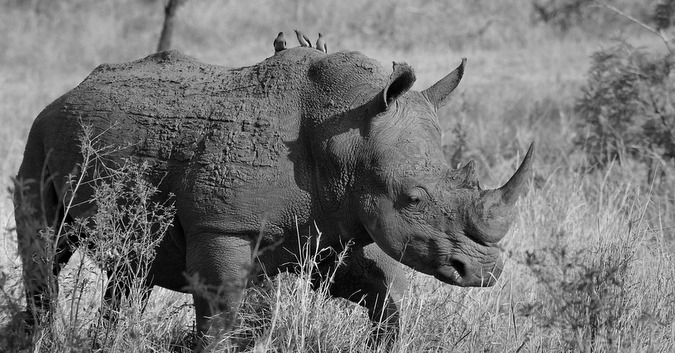Black and white photo of a white rhino in the wild