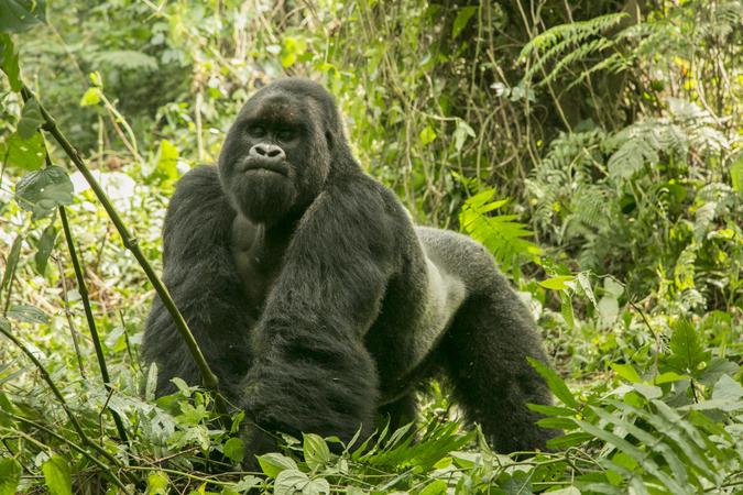 Silverback mountain gorilla in Bwindi, Uganda