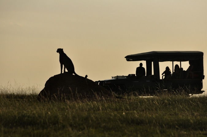 Cheetah sitting on rock with tourists in a vehicle watching